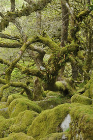 foto of epiphyte  - Moss covered Granite Boulders & Oak Trees with epiphytic mosses lichens and ferns