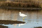 stock photo of dartmouth  - Snowy Egret foraging for food in a marsh - JPG