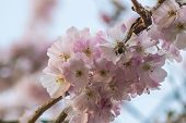 pic of bumble bee  - Bumble Bee busy pollinating a cherry flower.