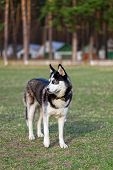 stock photo of grass area  - Siberian Husky examines the surrounding area - JPG