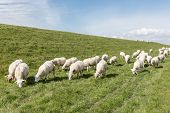 stock photo of dike  - Herd of sheep grazing along a Dutch dike - JPG