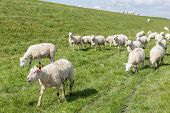 picture of dike  - Herd of sheep grazing along a Dutch dike - JPG