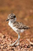 stock photo of chimp  - A cute little lapwing chick walks along the pebble beach of Chimp Island in Lake Victoria  - JPG