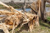 pic of wind blown  - Dutch farmland with blown down tree after a heavy spring storm - JPG