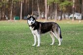 pic of grass area  - Siberian Husky examines the surrounding area - JPG