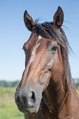 stock photo of breed horse  - Portrait of a Polo racing horse. Special breed. Traveling through South America. Argentina, countryside.