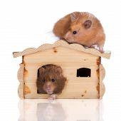 picture of hamster  - syrian hamster on white studio background posing - JPG