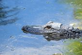 stock photo of alligator  - Closeup of a head of an American Alligator submerged in a river - JPG