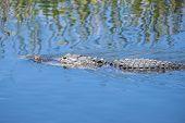 foto of alligator  - American Alligator Swimming in a River Closeup - JPG