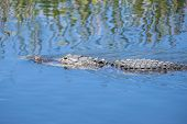 stock photo of alligator  - American Alligator Swimming in a River Closeup - JPG