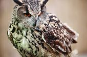 pic of owls  - Eagle Owl - JPG