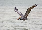foto of gulf mexico  - A brown pelican flies low over the Gulf of Mexico near Florida - JPG