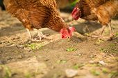 image of hen house  - Hen in a farmyard  - JPG