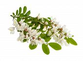 image of locust  - black locust Branch with white flowers isolated on white - JPG