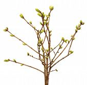 stock photo of bud  - Spring branch of Tree - JPG