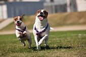 picture of jack russell terrier  - Energetic Jack Russell Terrier Dogs Running on the Grass Field - JPG