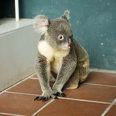 picture of koalas  - Portrait of male Koala bear sitting on the floor  - JPG