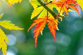 stock photo of canada maple leaf  - Green and red Maple Leaves with bokeh - JPG