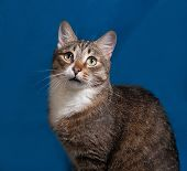 stock photo of blue tabby  - Tabby and white cat on blue background - JPG