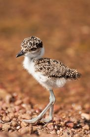 picture of chimp  - A cute little lapwing chick walks along the pebble beach of Chimp Island in Lake Victoria  - JPG