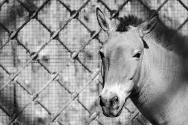 pic of big horse  - front of the big muzzle or head of a horse of gray color in full - JPG