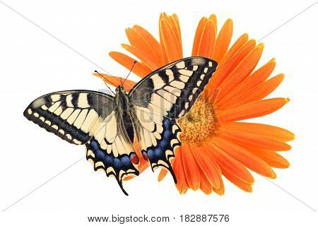 Old World Swallowtail (papilio Machaon) Butterfly Perched On An Orange Flower All On A White Backgro