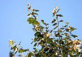 Branch Of Poplar On Blue Sky poster