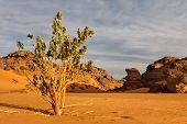Calotropis Procera - Akakus (acacus) Mountains, Sahara, Libya