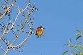Bee Eater Bird On Tree Branch
