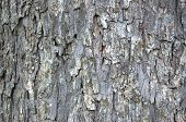 stock photo of pecan tree  - textured background of large pecan tree bark - JPG