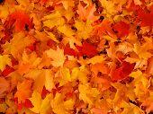 Herfst, esdoorn bladeren.
