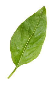 picture of basil leaves  - Close - JPG