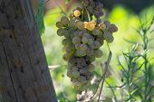 Bio Winery White Wine Grape Vineyard In Provence, South Of France poster