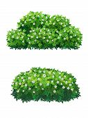 Green Bush With White Flowers Of Different Shapes. Ornamental Plant Shrub For Decorate Of A Park, A  poster