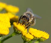 Detail Of Bee Or Honeybee In Latin Apis Mellifera, European Or Western Honey Bee Pollinated Of The Y poster