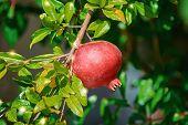 Pomegranate Tree Or Socotran Pomegranate (punica Protopunica) poster