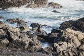A New Zealand Fur Seal, Southern Fur Seal Or Long-nosed Fur Seal Arctocephalus Forsteri At Cape Pall poster