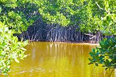 Mangroves In A Swamp