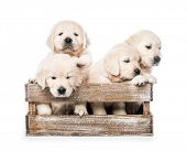 Cute four funny golden retriever puppies in basket isolated on white background poster