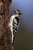 Female Downey Woodpecker (Picoides pubescens)