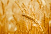Ripe Wheat Ears In A Field. Wheat Field.ears Of Golden Wheat Close Up. Background Of Ripening Ears O poster