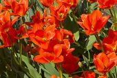 Tulips Of The Albert Heyn  Species On A Flowerbed. poster
