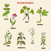 Best Herbal Remedies For Sinusitis. Hand Drawn Vector Set Of Medicinal Plants poster