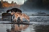 Grey Wolf (canis Lupus) Nose To Water With Black Wolf Autumn - Captive Animals poster