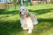 image of english setter  - A freckle - JPG
