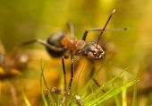picture of formica  - Ant  - JPG