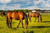 Three Beautiful Horses Grazing In Lush Green Sunlit Pasture Outdoors Summer On Green Field poster