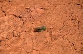stock photo of animals sex reproduction  - Grasshoppers mating on red clay in the Azores - JPG