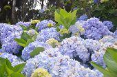 Wild Hydrangea in the Azores
