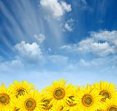 Sunflowers Over Cloudy Sky In Summer